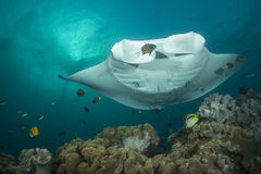 Reef Manta Ray. Manta alfredi on the Great Barrier Reef Royalty Free Stock Photo