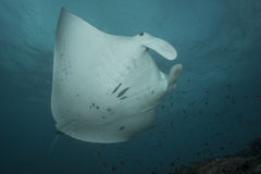Reef Manta Ray. Manta alfredi on the Great Barrier Reef Stock Photo