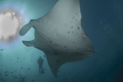 Reef Manta Ray. Manta alfredi wither diver on the Great Barrier Reef Royalty Free Stock Photography