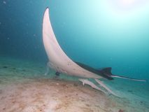 Reef Manta Ray Royalty Free Stock Image