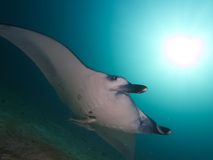 Reef Manta Ray. Wide-angle portrait of a Reef Manta Ray against sun ball Stock Photography