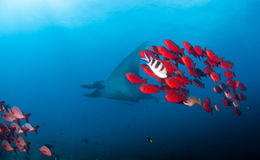 A reef manta with a school of bright red fish Stock Photos