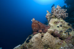 Reef Octopus Royalty Free Stock Images