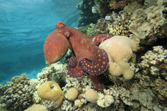 Reef Octopus stock photography