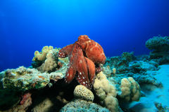 Reef Octopus Royalty Free Stock Photography