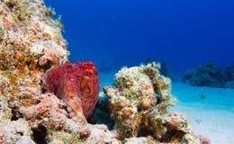 Reef Octopus Stock Image