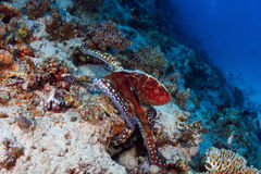 Reef octopus Royalty Free Stock Photo