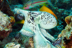 Reef octopus Royalty Free Stock Image