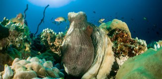 Reef and Octopus maldives. Maldives   2015 by walter schmit Royalty Free Stock Image