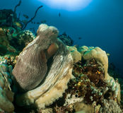 Reef and Octopus maldives. Maldives   2015 by walter schmit Stock Image