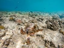Reef octopus Octopus cyanea on coral garden Stock Image