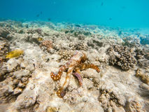 Reef octopus Octopus cyanea on coral reef. Reef octopus Octopus cyanea known as the big blue octopus change color to brown in red sea on coral garden. Cyanea can Royalty Free Stock Photography