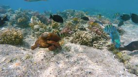 Reef octopus Octopus cyanea and fish on coral reef stock video footage