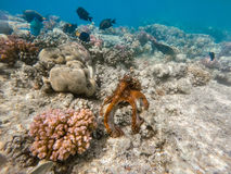 Reef octopus Octopus cyanea and fish on coral reef. Reef octopus Octopus cyanea known as the big blue octopus change color to brown in red sea on coral garden Stock Image