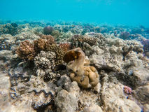 Reef octopus Octopus cyanea and fish on coral reef. Reef octopus Octopus cyanea known as the big blue octopus change color to brown in red sea on coral garden Royalty Free Stock Photo