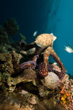 Reef octopus (Octopus cyaneus) Royalty Free Stock Image
