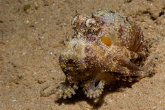 Reef octopus (octopus cyaneus) Stock Photos