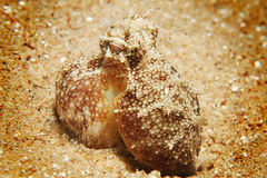 Reef octopus (octopus cyaneus) Stock Photos