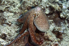 Reef octopus (octopus cyaneus) Royalty Free Stock Photo