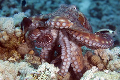 Reef octopus (octopus cyaneus) Royalty Free Stock Photos
