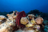 Reef octopus (octopus cyaneus) in the Red Sea. Stock Image