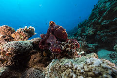 Reef octopus (octopus cyaneus) in the Red Sea. Royalty Free Stock Image