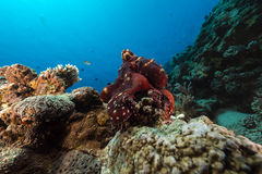 Reef octopus (octopus cyaneus) in the Red Sea. Royalty Free Stock Photos