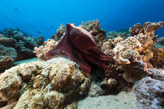 Reef octopus (octopus cyaneus) in the Red Sea. Stock Photos