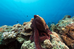 Reef octopus (octopus cyaneus) in the Red Sea. Royalty Free Stock Photo