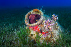 Reef Octopus (Octopus vulgaris) in ancient amphora on the ocean Royalty Free Stock Photography