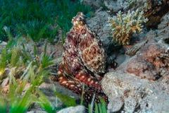 Reef Octopus (Octopus vulgaris) in ocean.  Underwater Photo. Stock Images