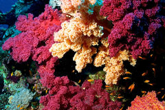 Reef of Red Sea Royalty Free Stock Photos