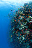 Reef, red Sea, south Sinai, Egypt. Reef and school of fish, red Sea, south Sinai, Eg Royalty Free Stock Image