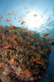 Reef, red Sea, south Sinai, Egypt. Reef and colored fish, red Sea, south Sinai, Egypt Stock Photos