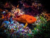 Reef Salmon. Marine life Stock Image