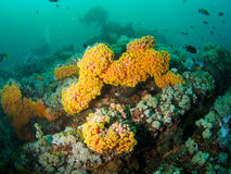Reef scape with soft coral with divrer Stock Image