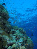 Reef scene looking up to surface at Gota Kebir, St John's reefs, Royalty Free Stock Photography