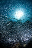 Reef and school of glass fish, Red Sea Royalty Free Stock Photo