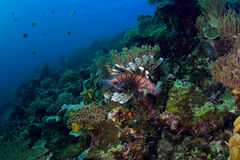 Reef seascape with lionfish. Seascape of a busy coral reef with a prominent lionfish (Scorpaenidae). Taken in the Wakatobi, Indonesia Royalty Free Stock Photo
