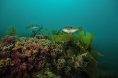 Reef with seaweeds and spotty wrasses Royalty Free Stock Photo