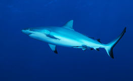 Reef shark. Black Tip Reef Shark, Coral Sea Stock Photo