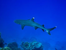 Reef shark. Whitetip reef shark and coral reef in Red sea royalty free stock photo