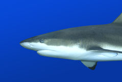 Reef Shark. A closeup blacktip reef shark swimming against blue background Stock Photo