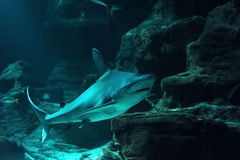 Reef shark. In a tropical coral reef stock photo