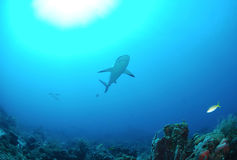 Reef shark. In tropical blue ocean stock photos