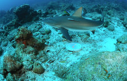 Reef shark. Caribbean reef shark swimming underwater stock photo