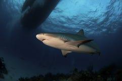 Reef Shark Stock Photos