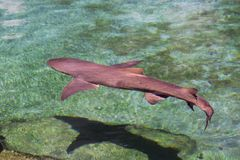 Reef Shark. Swimming over shallow reef Stock Images