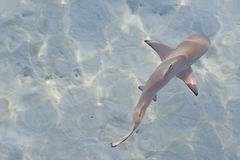 Reef shark. A black tip reef shark in shallow waters Royalty Free Stock Image