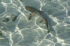 Free Reef Shark Royalty Free Stock Photo - 62106905